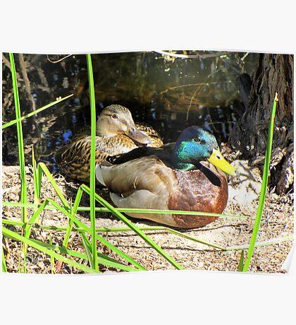 Mallard Ducks ~ Pair Poster