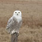 Close encounter of the snowy owl kind (video of this owl in description) by Heather King