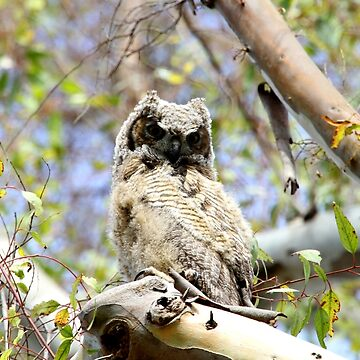 Juvenile Great Horned Owl Up High in a Tree by DARRINSWORK