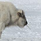 Heiliger weißer Büffel von annAHorton