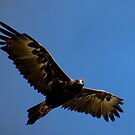 wedge tailed eagle by kabee6