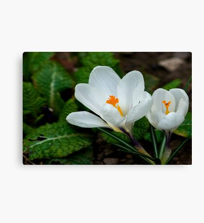 White Crocus  (Spring Bulbs) Canvas Print