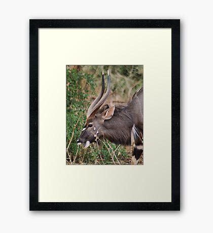 NJALA - Tragelaphus angasii - a handsome, striking antelope Framed Print