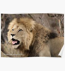 A CALL IN THE WILDERNESS... THE LION, Panthera leo Poster