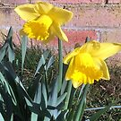 First Daffodils of Spring - Pasture Villas by Merice  Ewart