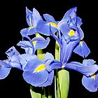 Blue Iris' by AnnDixon
