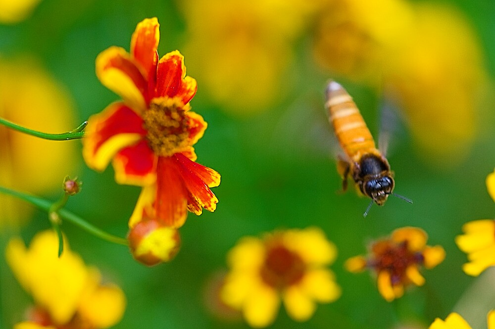 The Honey Bee and The Spring Colors by Mukesh Srivastava