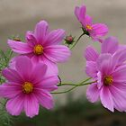 Pink Cosmo Daisies by Anna Lemos