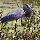 Great Blue Heron with fish by Bigart32