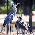 Great Blue Heron with larger chicks by Bigart32