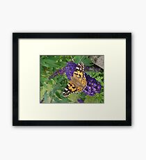 Painted Lady Butterfly resting on Buddleia Framed Print