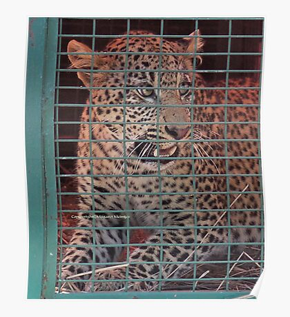 THE LEOPARED THAT WAS CAPTURED IN THE 'TRAP' Poster