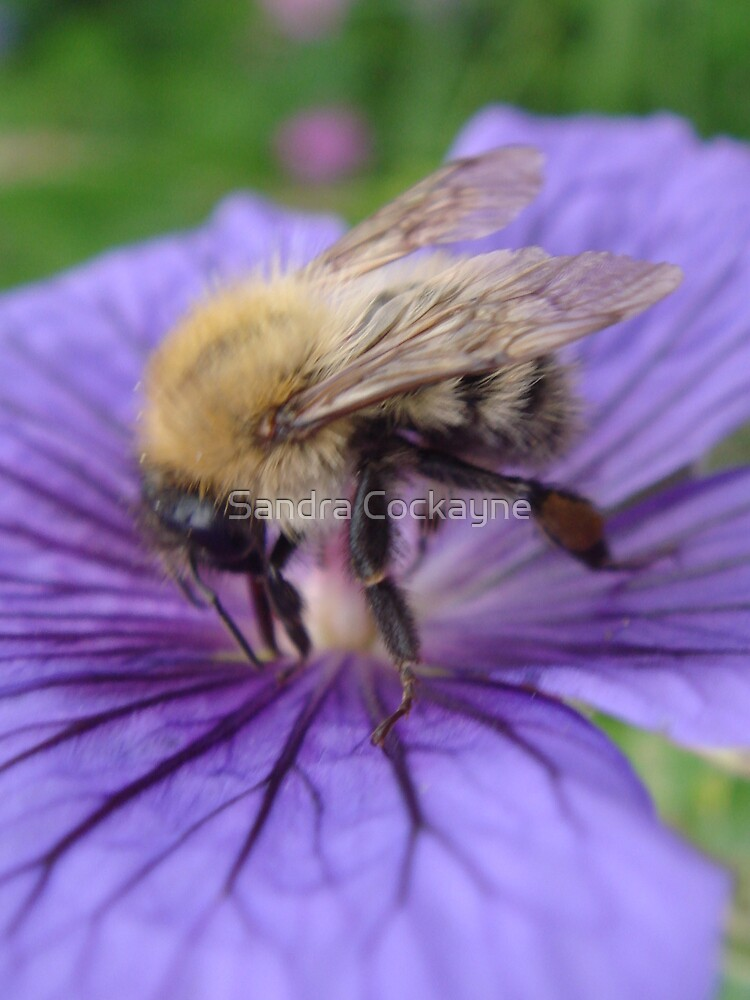 Bumble Bee Just Visiting. by Sandra Cockayne