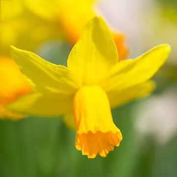 Narcissus  by hawkie