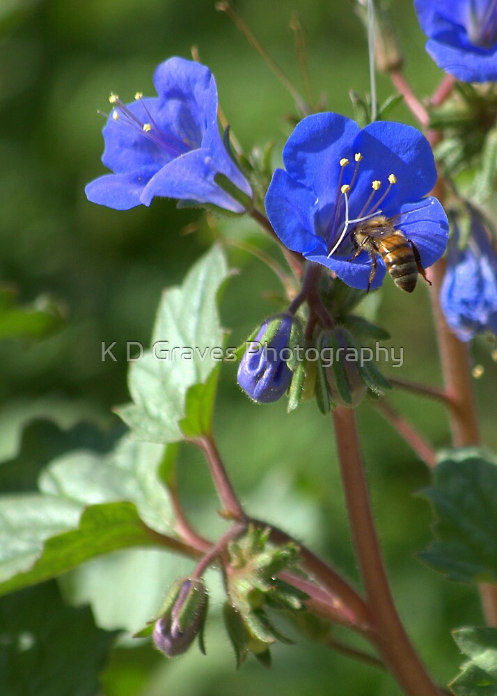 Desert Blue Eyes with Honey Bee by K D Graves Photography
