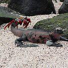 Galapagos Islands: Marine Iguana and Sally Lightfoot Crab by tpfmiller