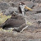 Galapagos Islands: Juvenile Waved Albatross by tpfmiller
