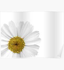 White Daisy on White Poster