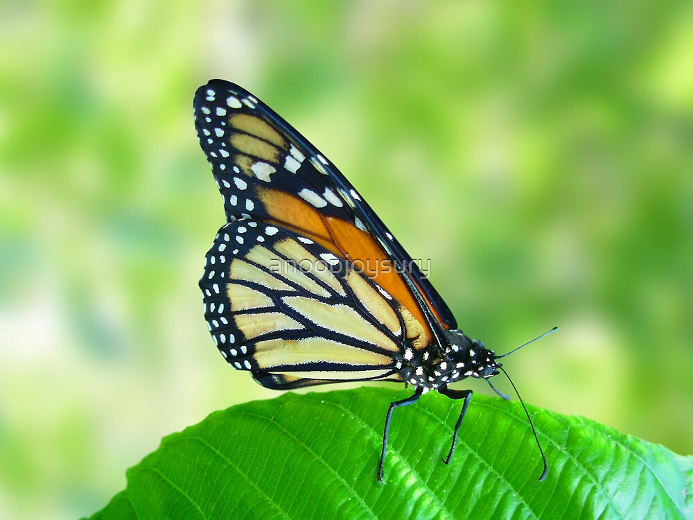 butterfly on leaf by anoopjoysury