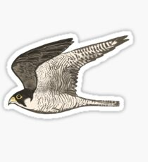 Peregrine Falcon Colored Pencil Art Sticker
