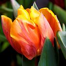 Tulip pure by AndreaFettweis