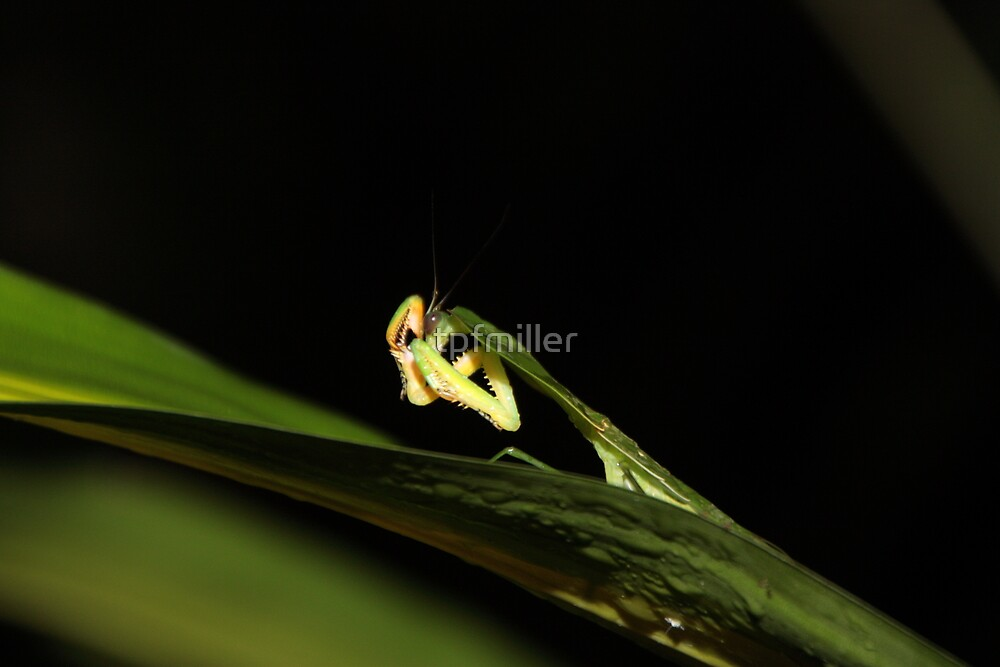 Peruvian Rainforest: Praying Mantis by tpfmiller