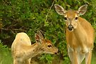 Key Deer and Fawn by Larry  Grayam
