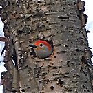 Peering Woodpecker by GraceNotes