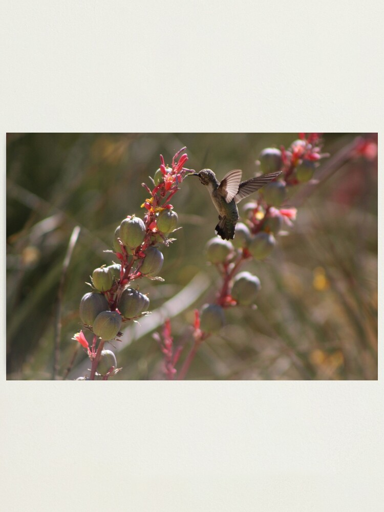 Alternate view of Hummingbird Flying To Red Yucca 3 in 3 Photographic Print