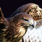 Red Tailed Kite by Clive