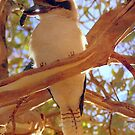 Kookaburra by Clive