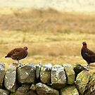 Red Grouse. by Jamie  Green