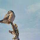 Northern Hawk Owl by SusanTregoning