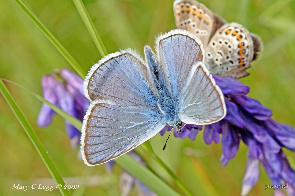 Amanda's Blue above and subsolana on vetch by pogomcl