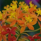 Crucifix Orchid - Epidendrum ibaguense by lezvee