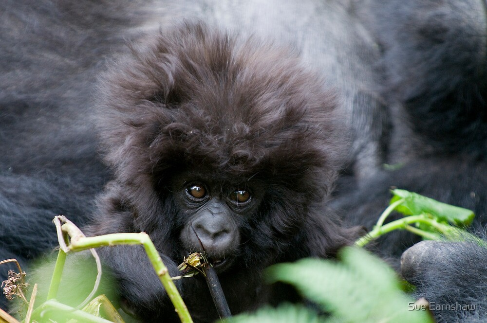 Young Gorilla, Volcanoes National Park Rwanda by Sue Earnshaw