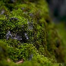 Moss on a rock by Guillaume Marcotte