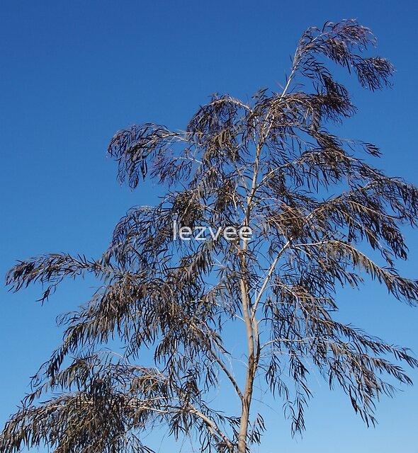 A Feathery Eucalyptus by lezvee