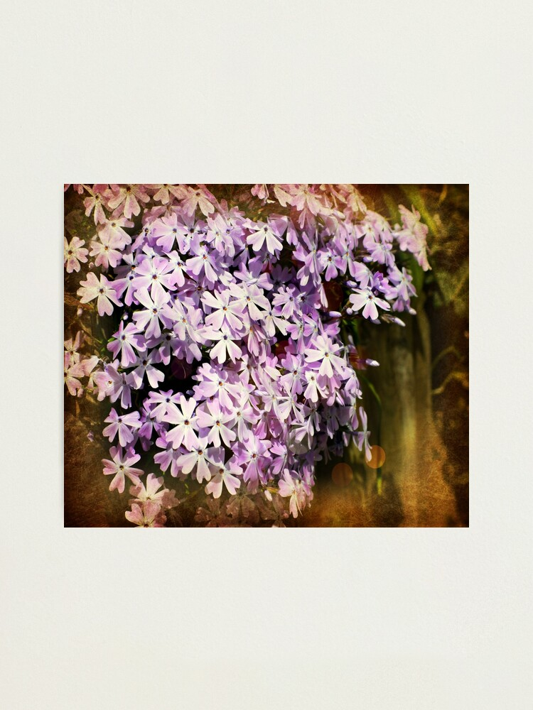 Alternate view of Garden Phlox Photographic Print