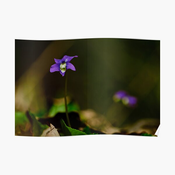violets are blue Poster