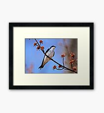 Tree Swallow on Red Maple Branch - Ottawa Ontario Framed Print