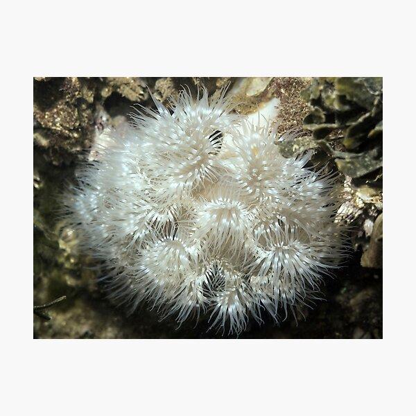 Plumose Anemone (Metridium farcimen) Photographic Print