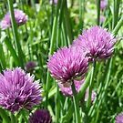 Chives II by shane22