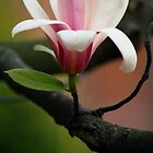 Magnolia Cylindrica by Nerone