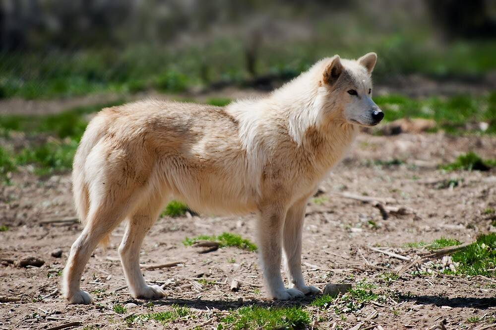 Arctic Wolf  by Jean-Pierre Ducondi
