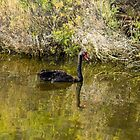 Black Swan Reflection by Elaine Teague
