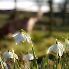 Snowdrops by Alice Oates