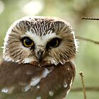 Saw Whet Owl by tigerwings