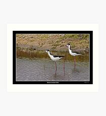 Black necked stilts in water Art Print