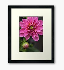 Dahlia With Dew In Pink Framed Print